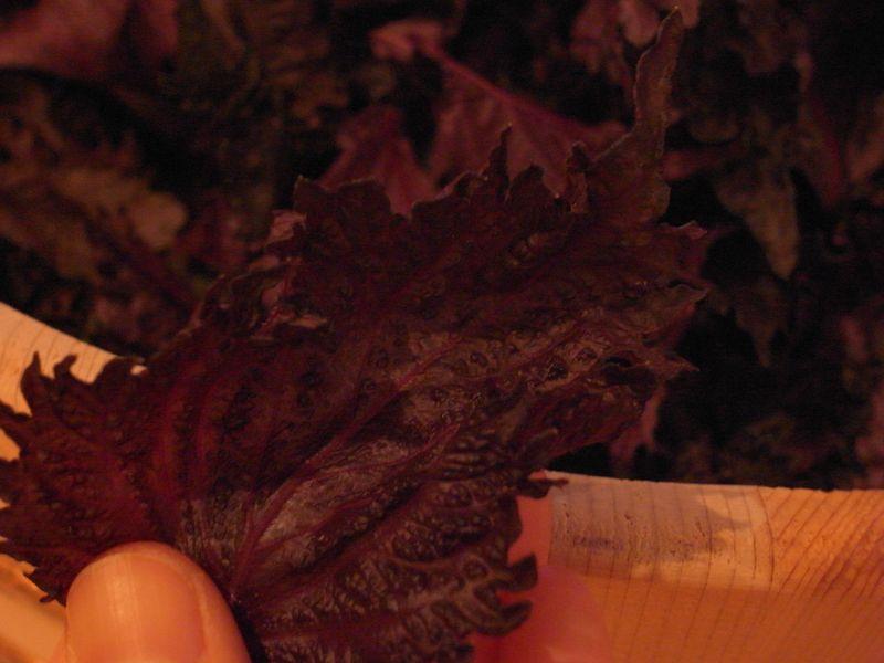 20100720_梅の赤紫蘇漬け_R0019316