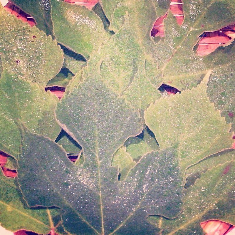 20140707_七夕には梶の葉と素麺を。_IMG_9697